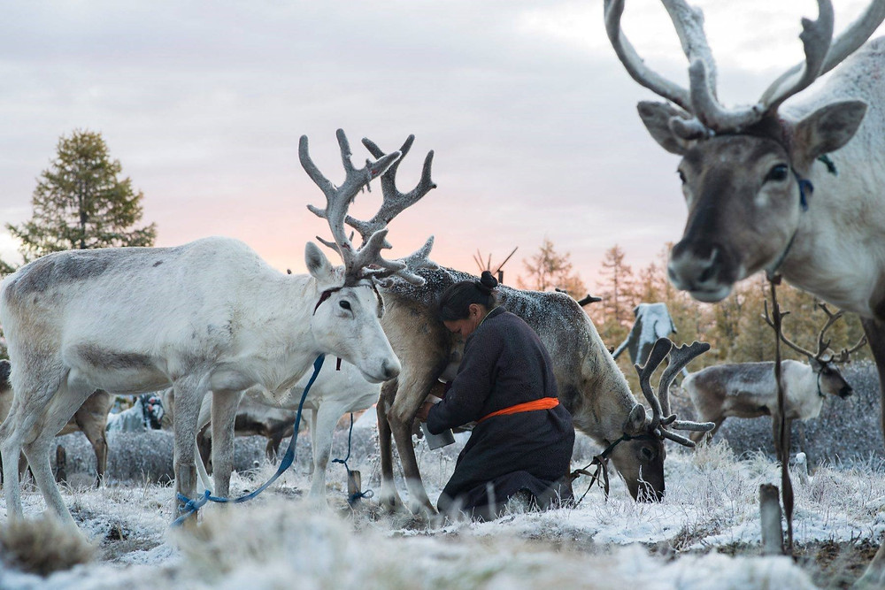 Tsaatan, literally translates as, 'those who have reindeer'