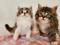 ragamuffin kittens for adoption
