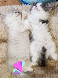 ragamuffin kittens sleeping
