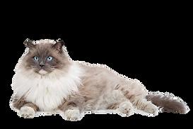 ragdoll-cat.png