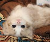 ragamuffin kitten-POOH BEAR-IMG_9655.png