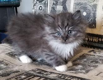 ragamuffin kitten for sale