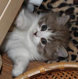 IMG_4055 ragamuffin kittens diamond