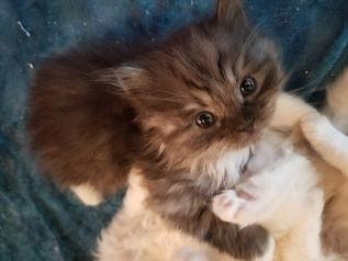 ragamuffin kitten for adoption