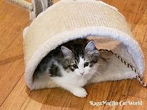 ragamuffin kitten-ABBEY-20190513_193844.jpg