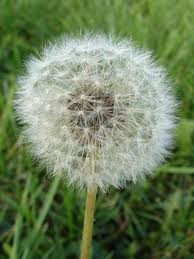 My Dandelion - So fresh and inocent