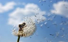 My Dandelion - As the years went by ...