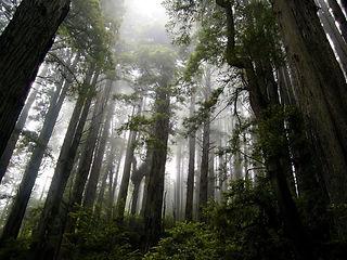 Mystical Shasta Forest