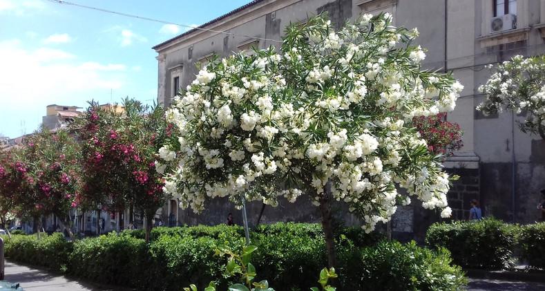 Oleanders in Catania.jpg