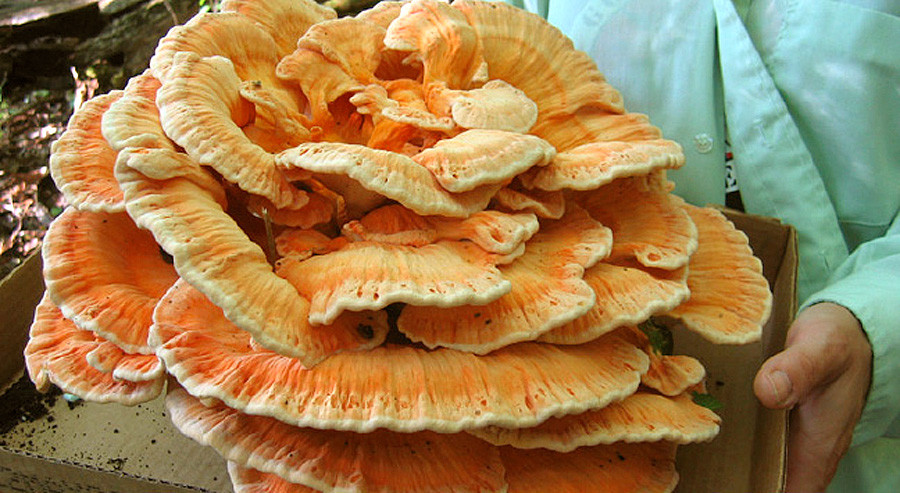 "Laetiporous Cincinnatus, a pale-edged, rosette form of ""Chicken of the Woods"""
