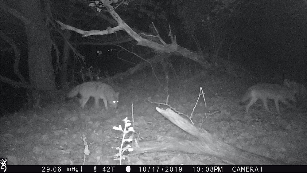 trail camera coyotes night