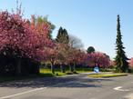 Cerisiers 2020 (4).jpg