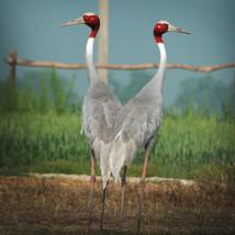Saras Crane bird.jpg