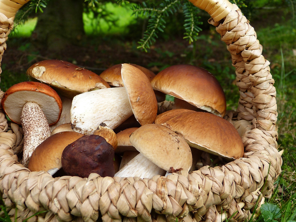 Forest mushrooms, Poland