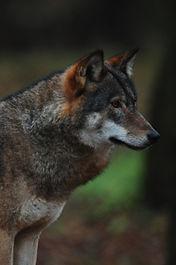 Wolf in Bialowieza Forest