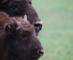 Bialowieza Forest, Bisons