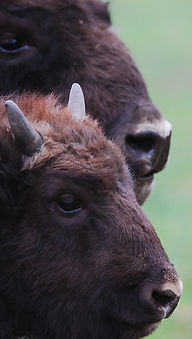Bisons in Bialowieza Forest