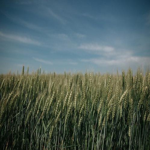 Зимна пшеница KWS Етернел C1
