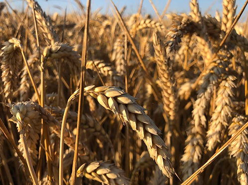 Зимна пшеница LG Апилко C1