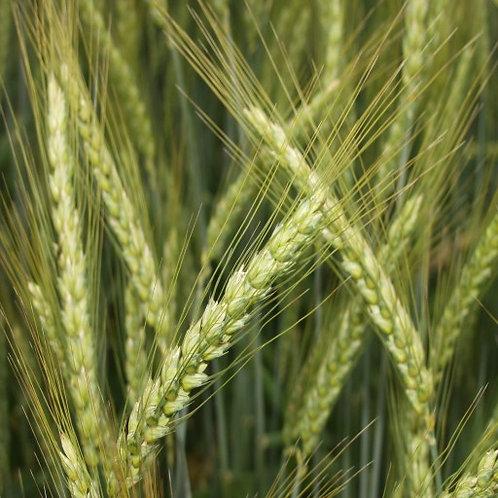 Зимна пшеница KWS Ултим C1