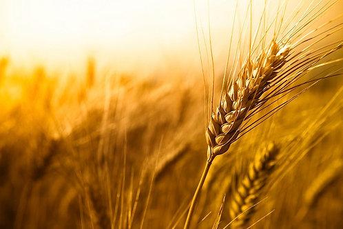 Зимна пшеница Солехио C1