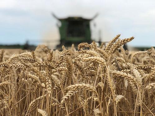 Зимна пшеница LG Avenue C1