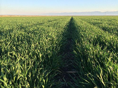 Зимна пшеница Exotic C2