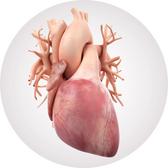Heart Anatomy (Interactive)