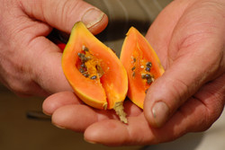 Découverte de la papaye