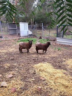 2 Ram Lambs for sale English Leicester