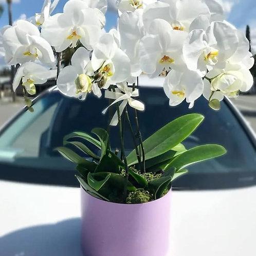 Cascade Orchids