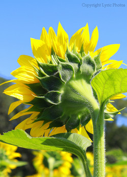 Sunflower photo picture photograph
