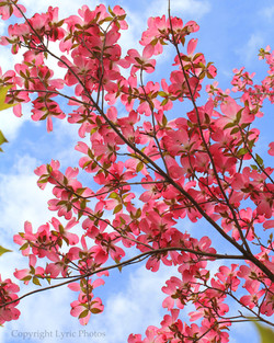 Dogwood pink flowers photo tree sky