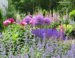 allium foxglove garden new england