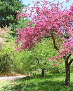 Wellesley Crabapple tree photo