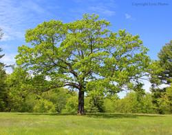 New England photo tree field