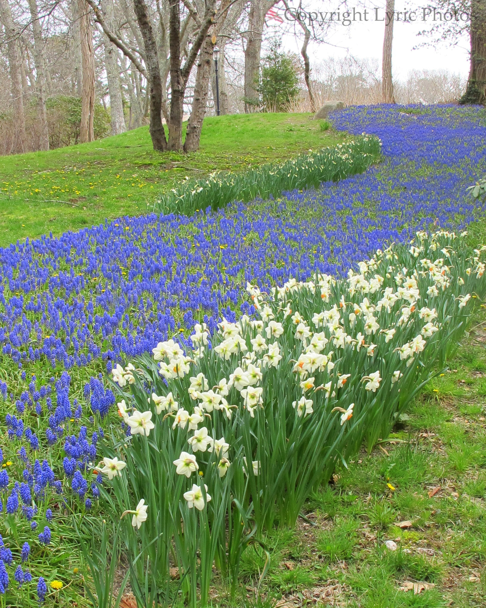 grape hyacinth daffodils photo
