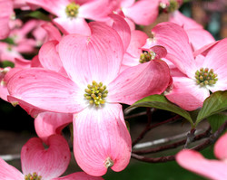 dogwood tree flower photograph pink
