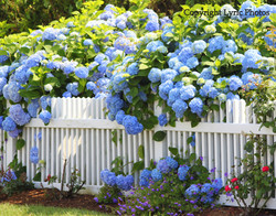 blue hydrangeas photo fence cape cod
