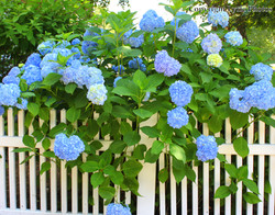 blue hydrangea fence cape cod photo