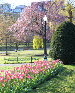 Boston Gardens tulips spring photo