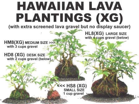 Lava Rock Bonsai - Average 6 yrs old