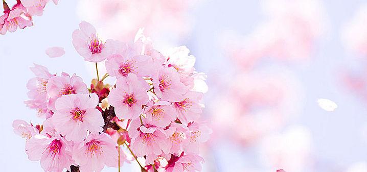 cerisier1.jpg