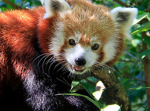 Mary-Red Panda.jpg