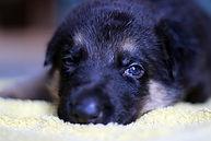 german-shepherd-dog-2440699_1920.jpg