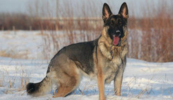 sable_in_snow