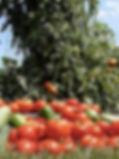 BETomatoes2.jpg