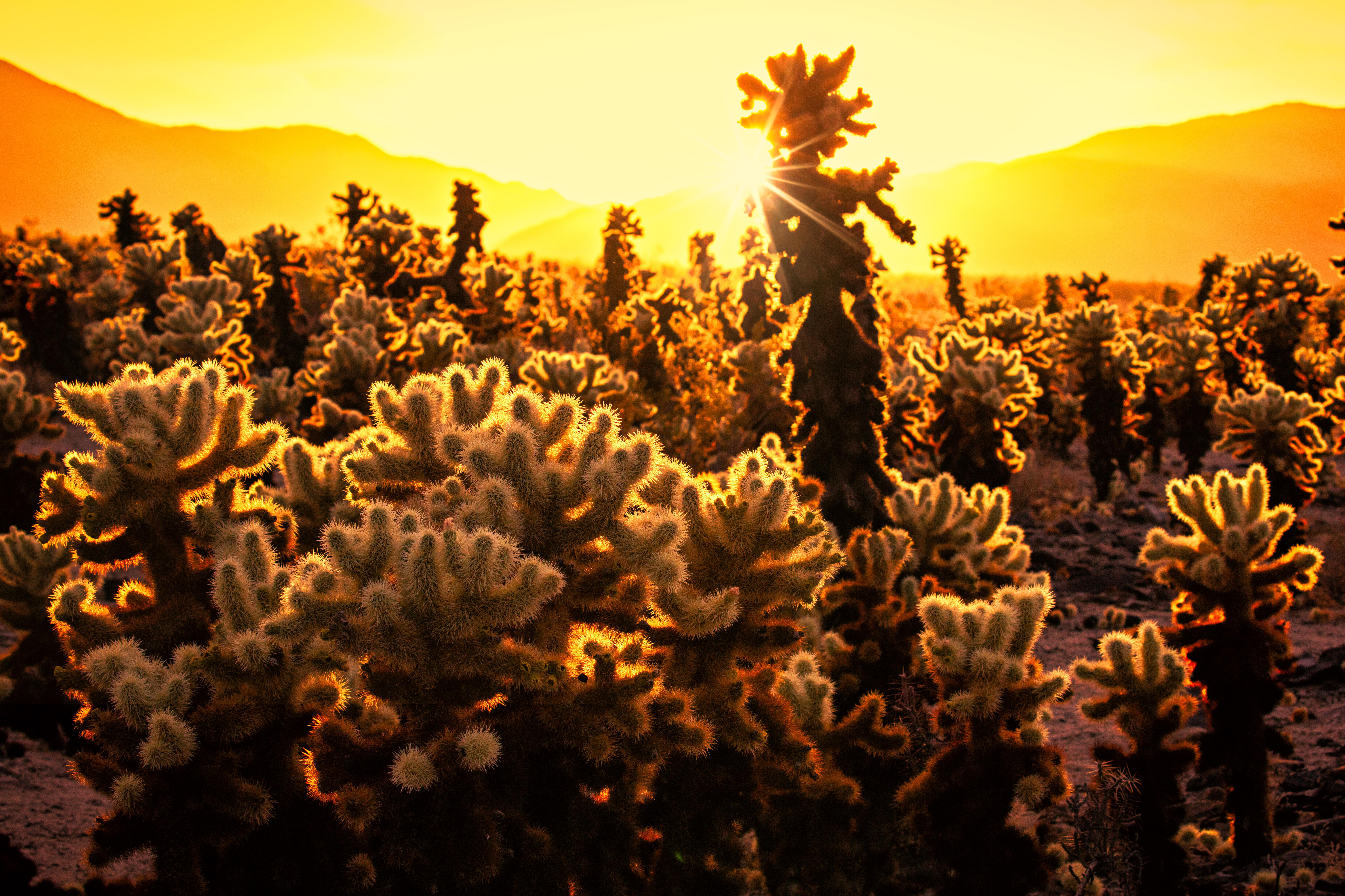 Cholla Catcus Sunset LR #2