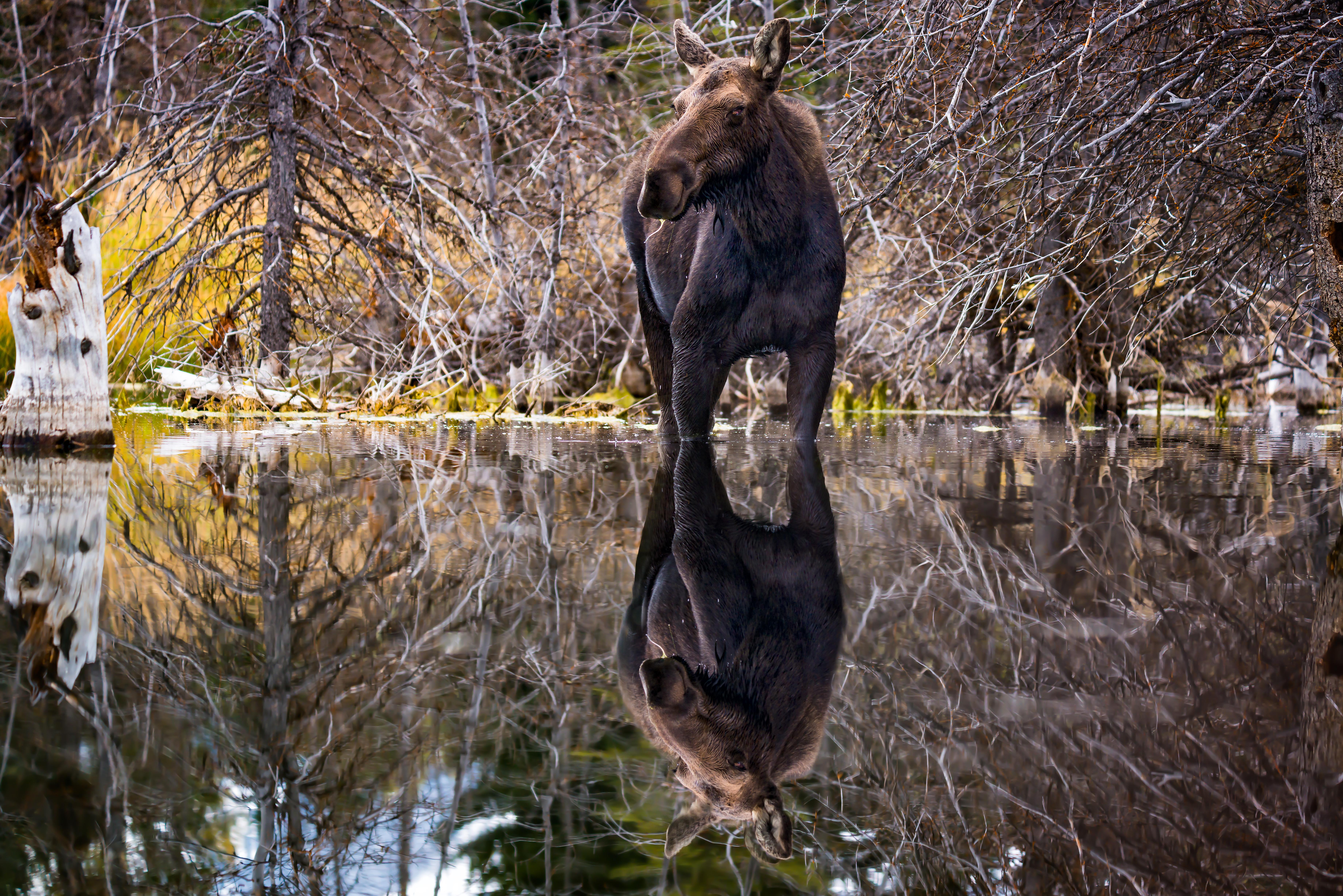 moose reflection2 schwbachers