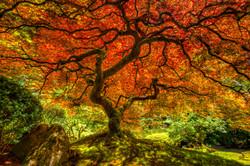 Maple Tree, Oregon